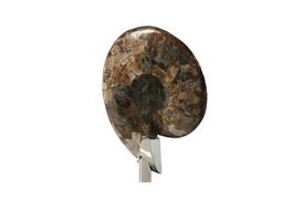 Coastal Ammonite